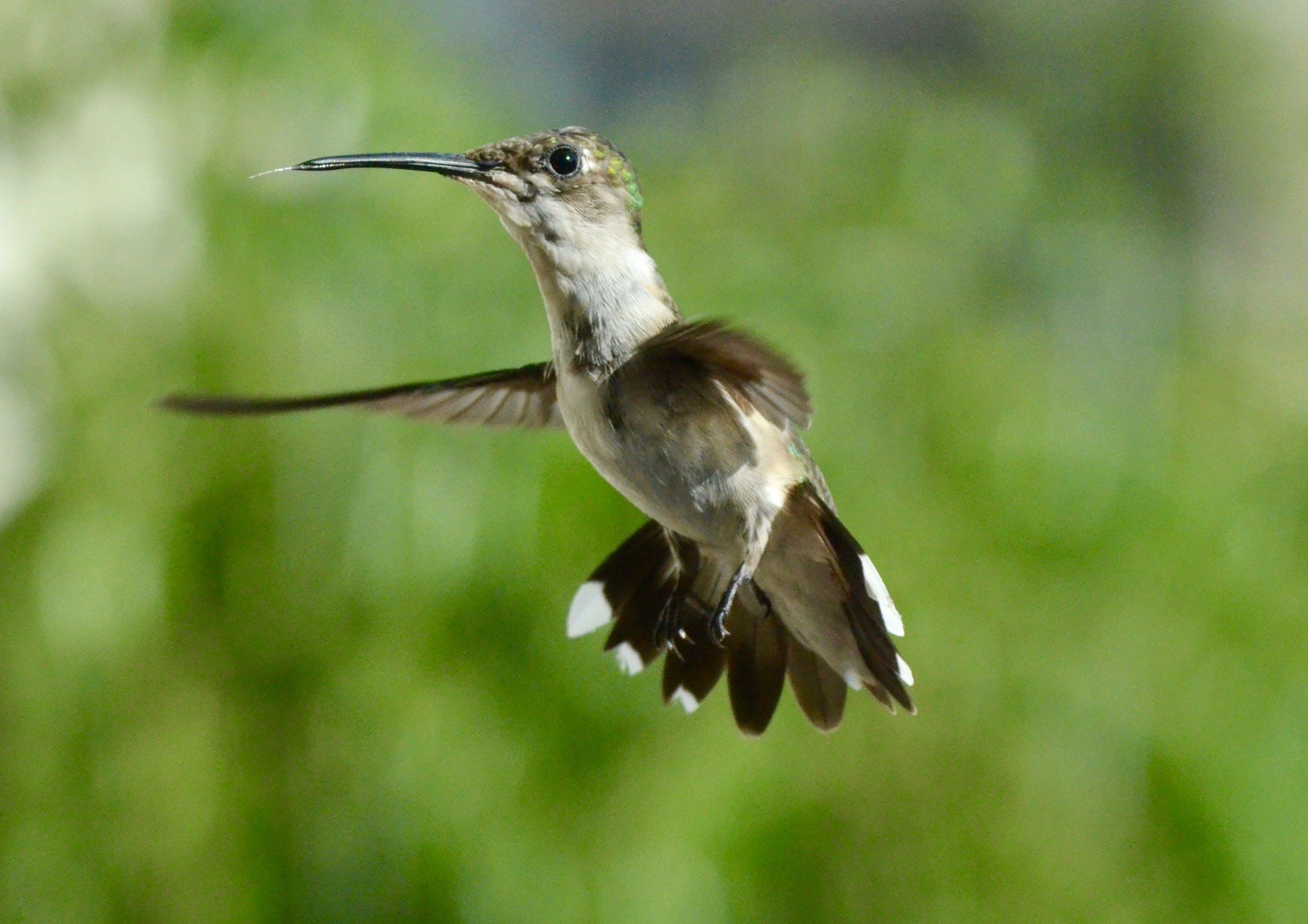 Ingyenes stockfotó állat, állatfotók, kolibri, makró témában