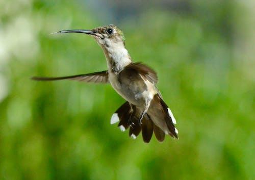 Foto d'estoc gratuïta de animal, au, aviari, colibrí