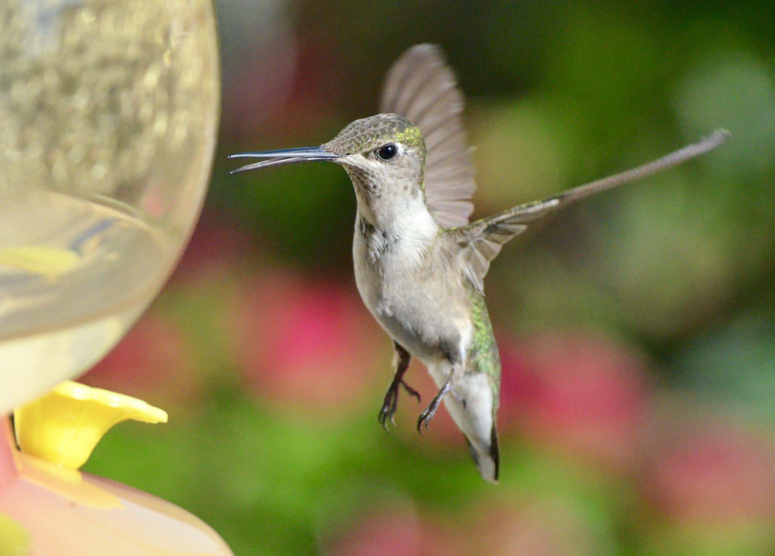 White And Green Hummingbird