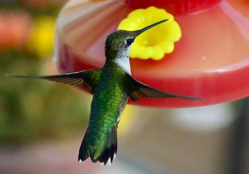 Foto d'estoc gratuïta de colibrí, jardí, natura