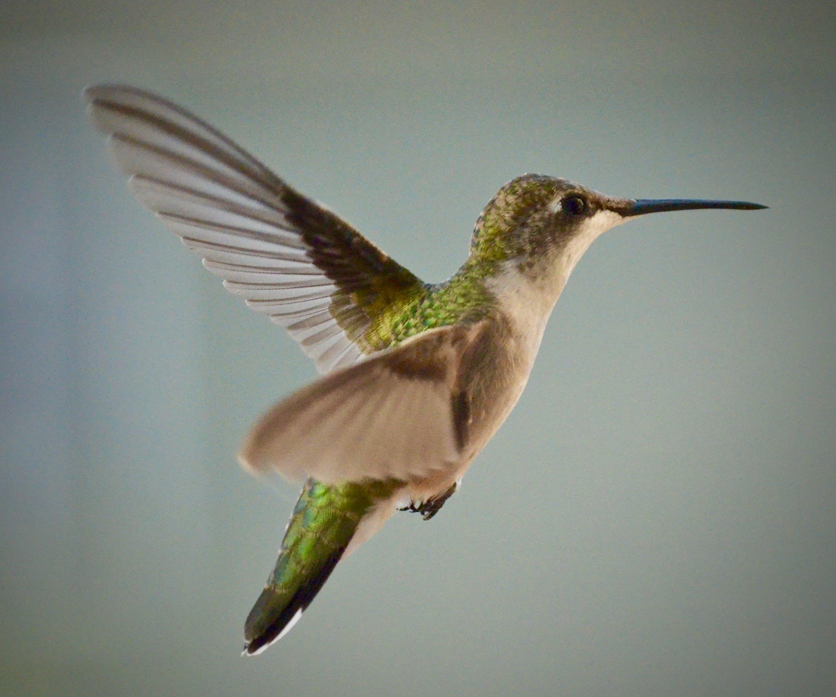 Ảnh lưu trữ miễn phí về bay, cận cảnh, chim ruồi, con vật
