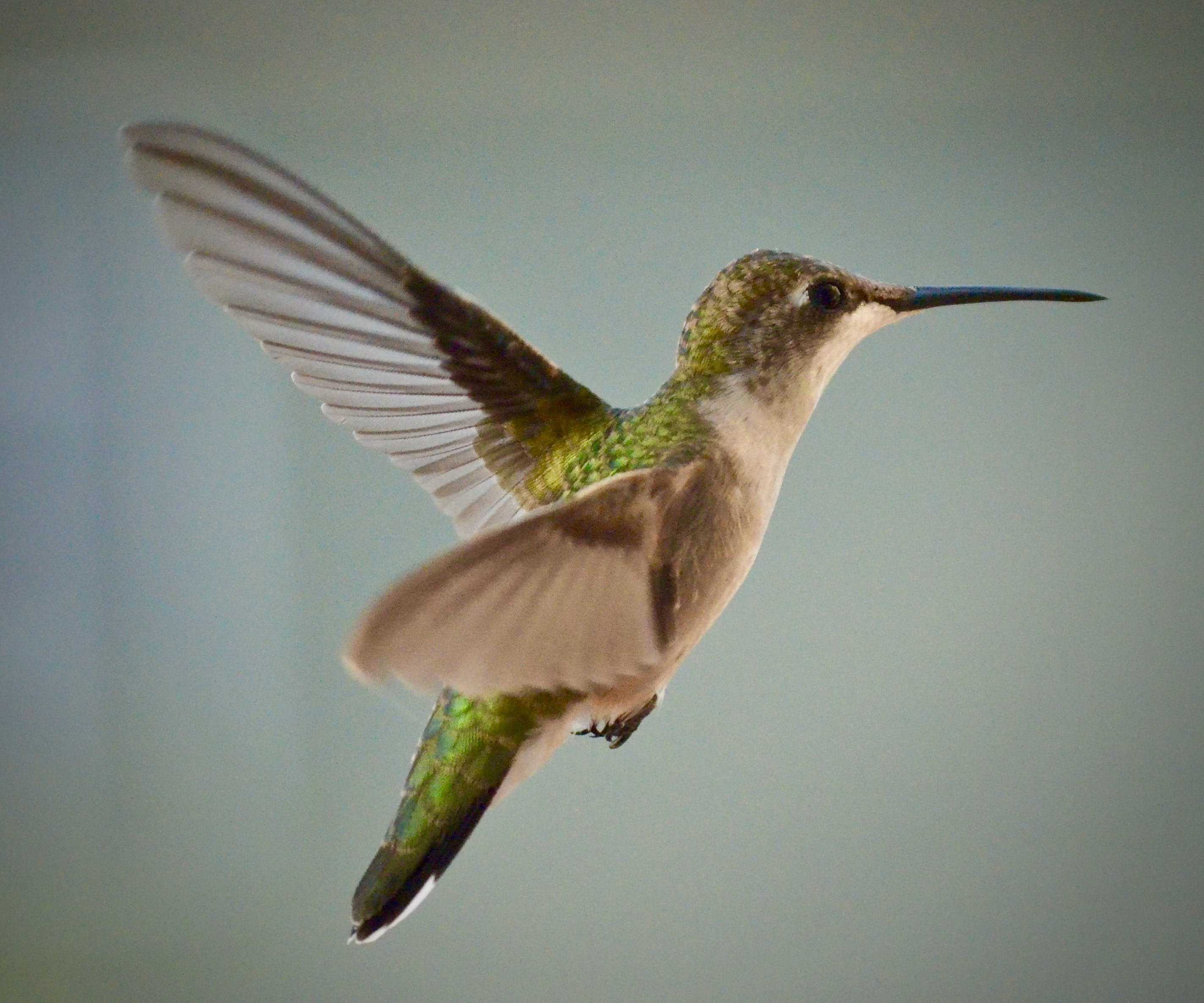 Green And Brown Hummingbird