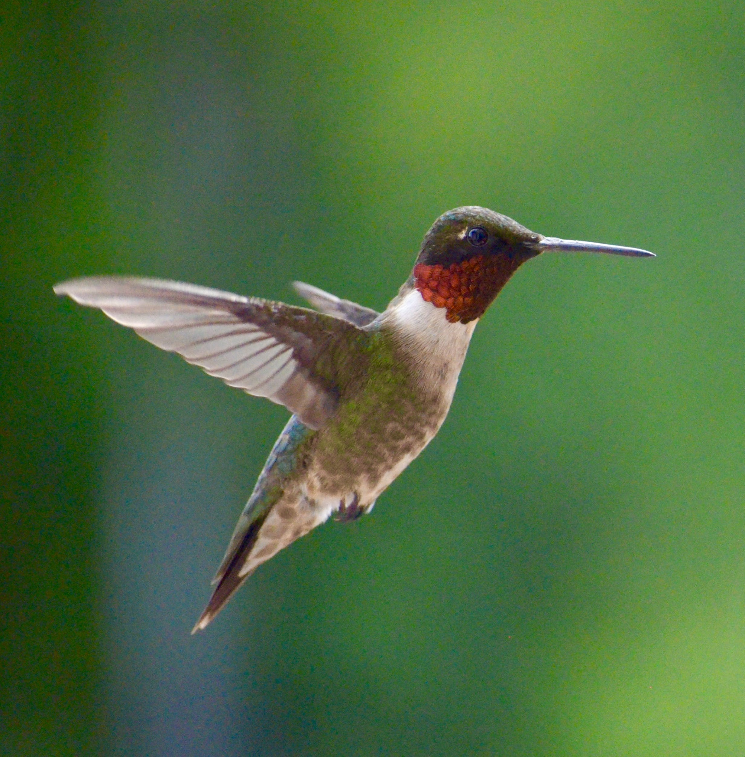 Free stock photo of nature, bird, garden, hummingbird
