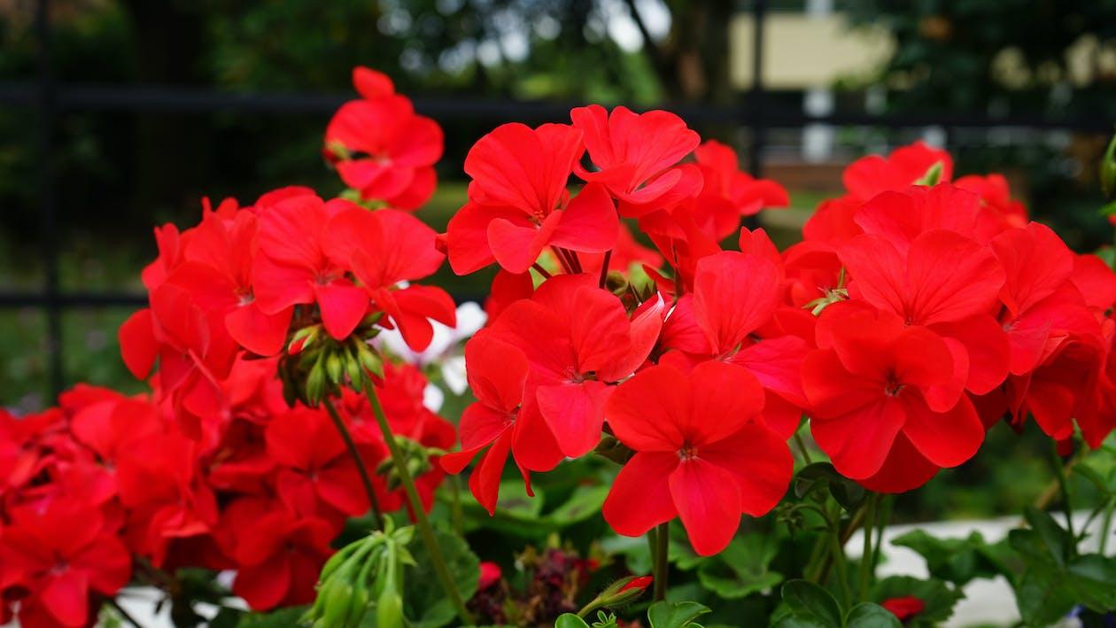 barvy, botanický, červená