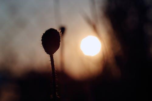 Ingyenes stockfotó nap, napfény, naplemente, virág témában