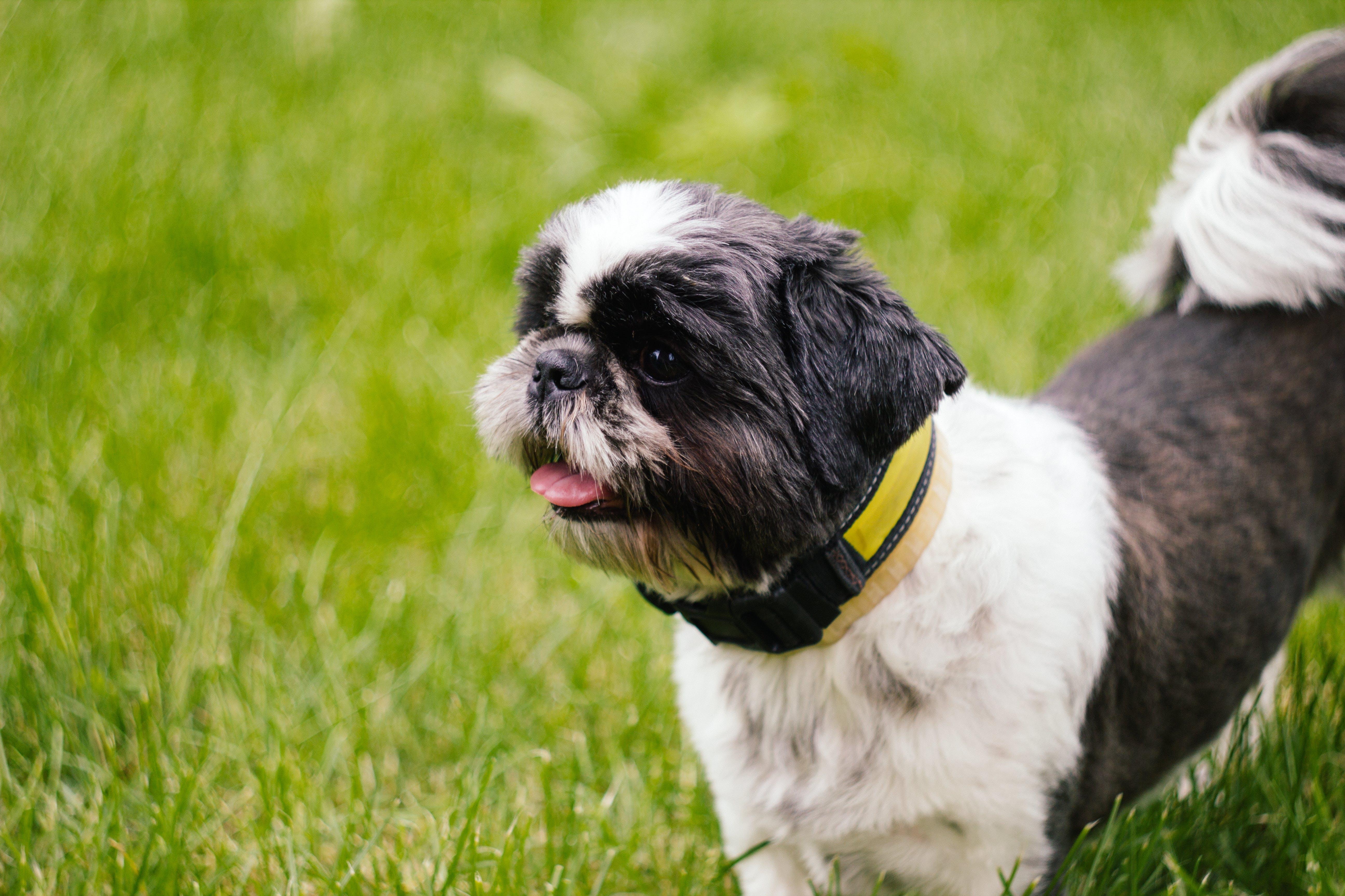Black and White Short Hair Shih Tzu Dog on Green Grass