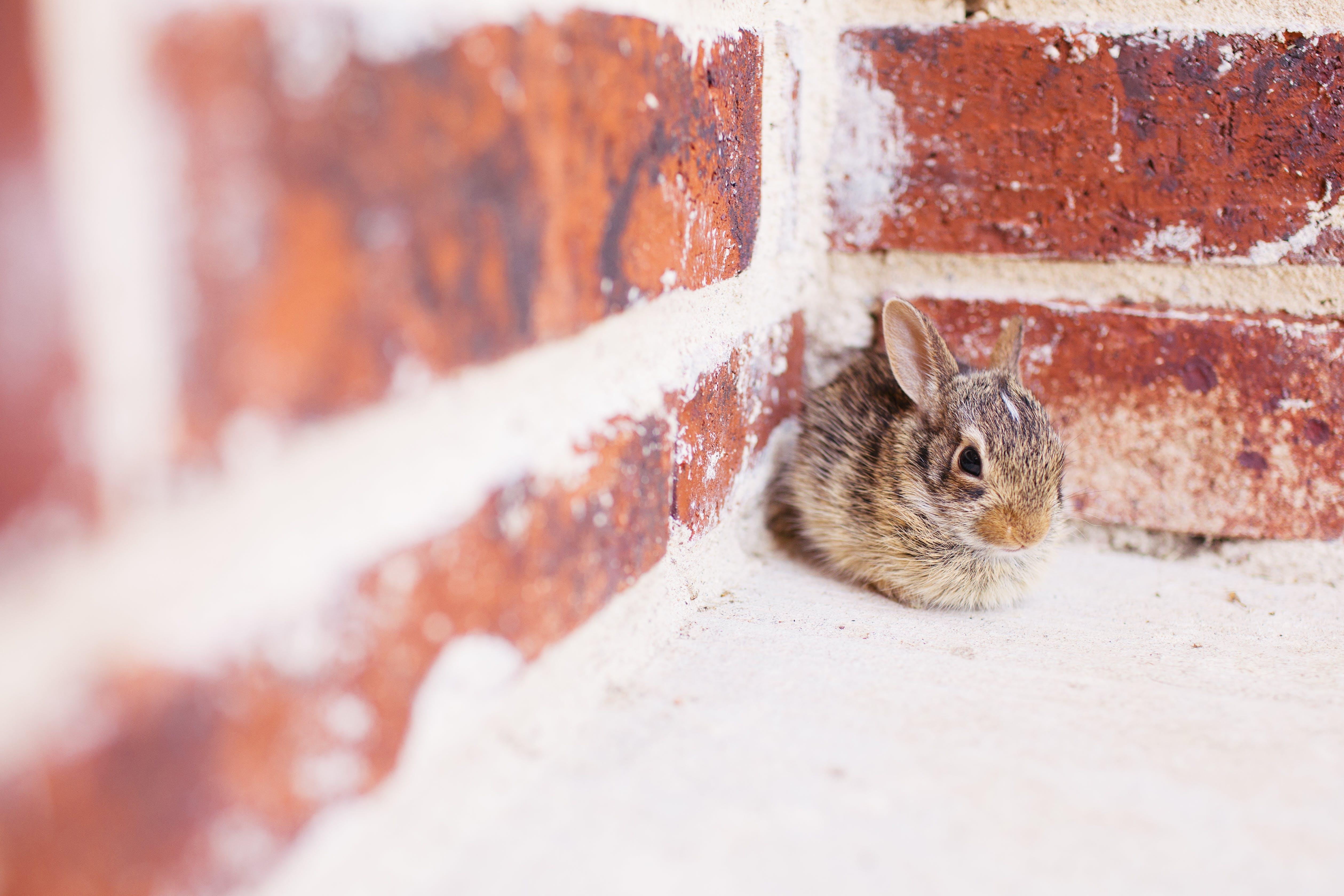 Gray and Brown Rabbit on Wall Corner