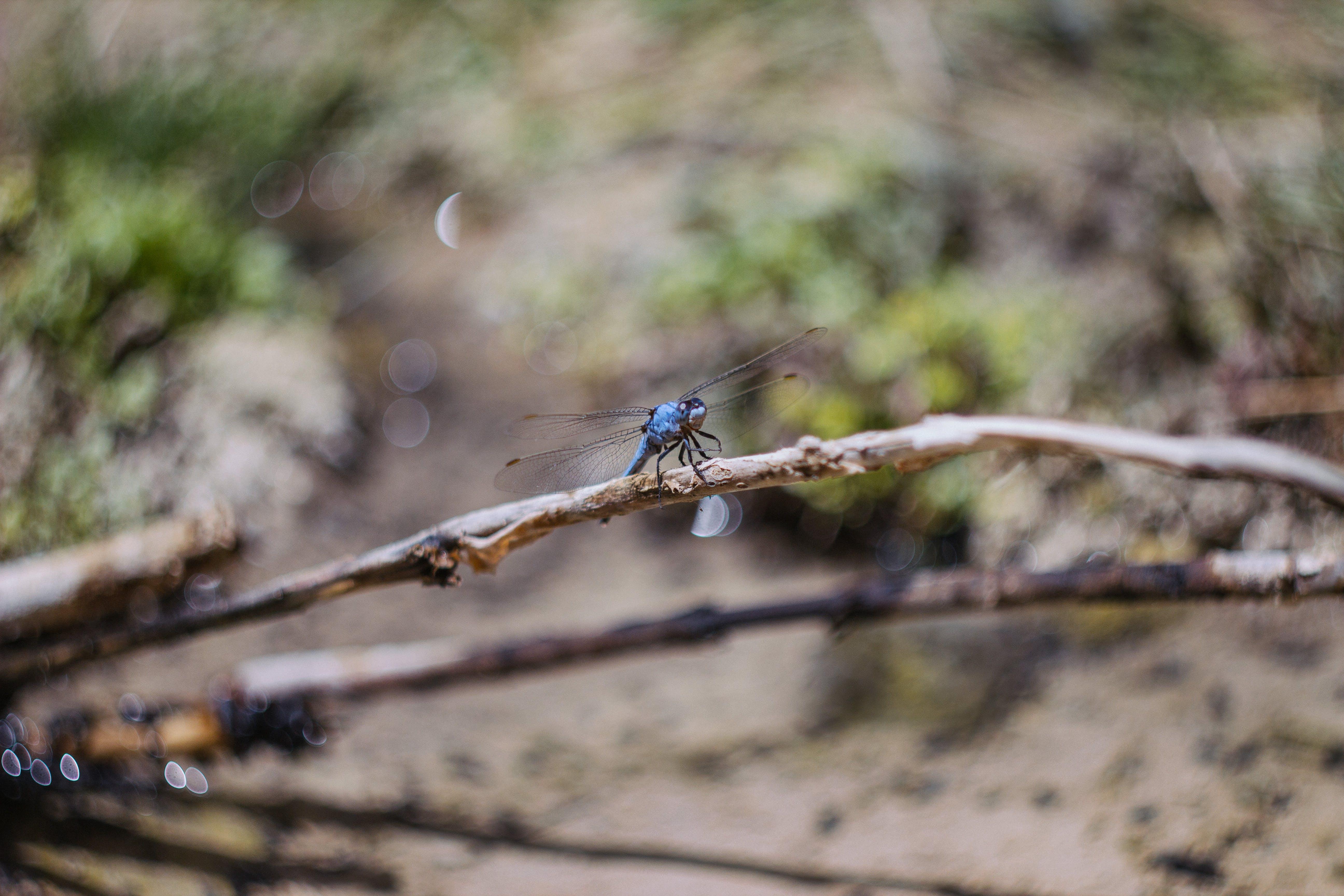 Kostenloses Stock Foto zu ast, insekt, libelle, makro