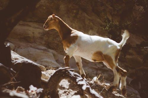 動物, 天性, 山羊, 岩石 的 免费素材照片