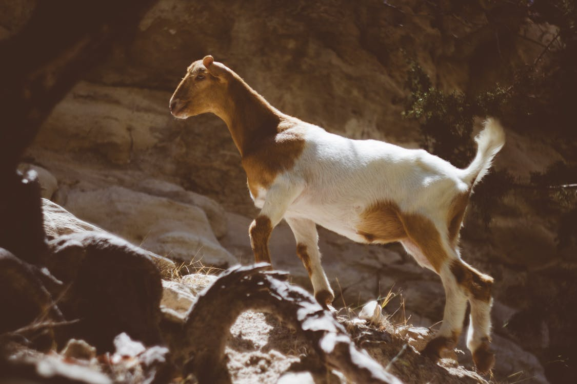Brown and White Goat Standing on the Rock during Daytime