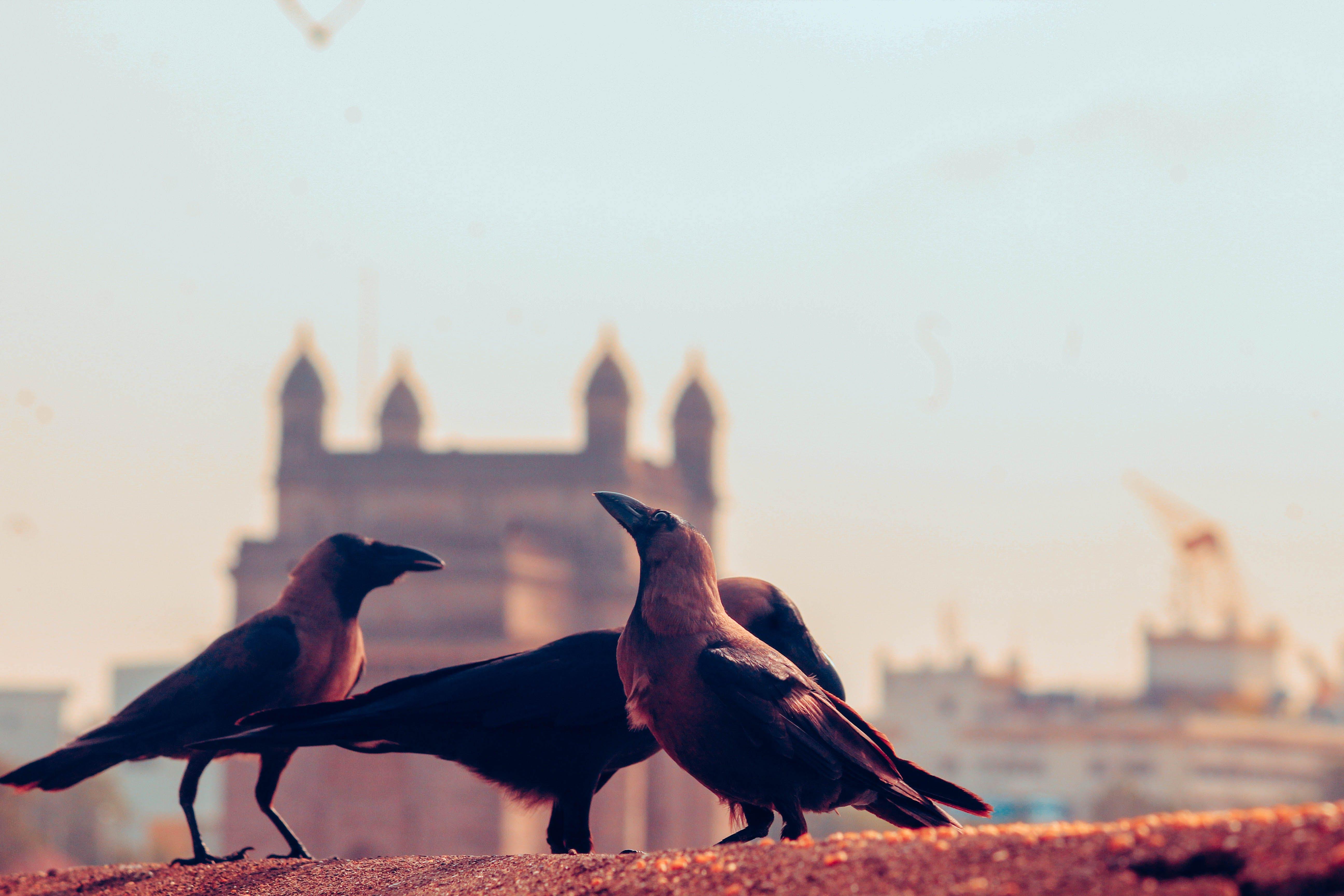 Free stock photo of crow, Gateway of India, mumbai