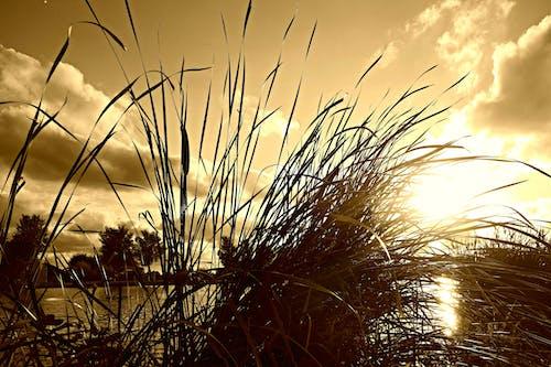 Free stock photo of evening sky, reed, rush, sky