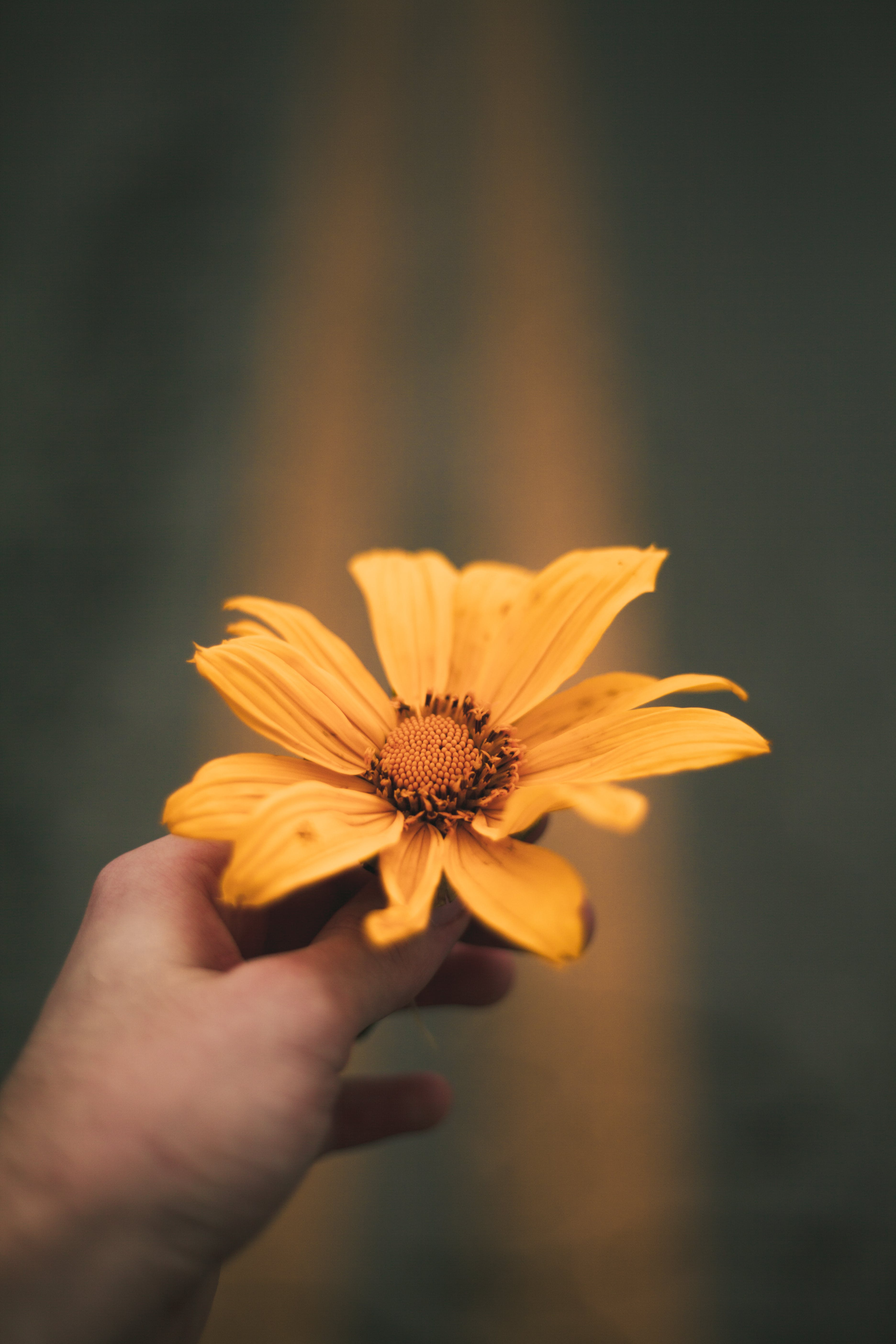 Person Holding Sunflower Flower