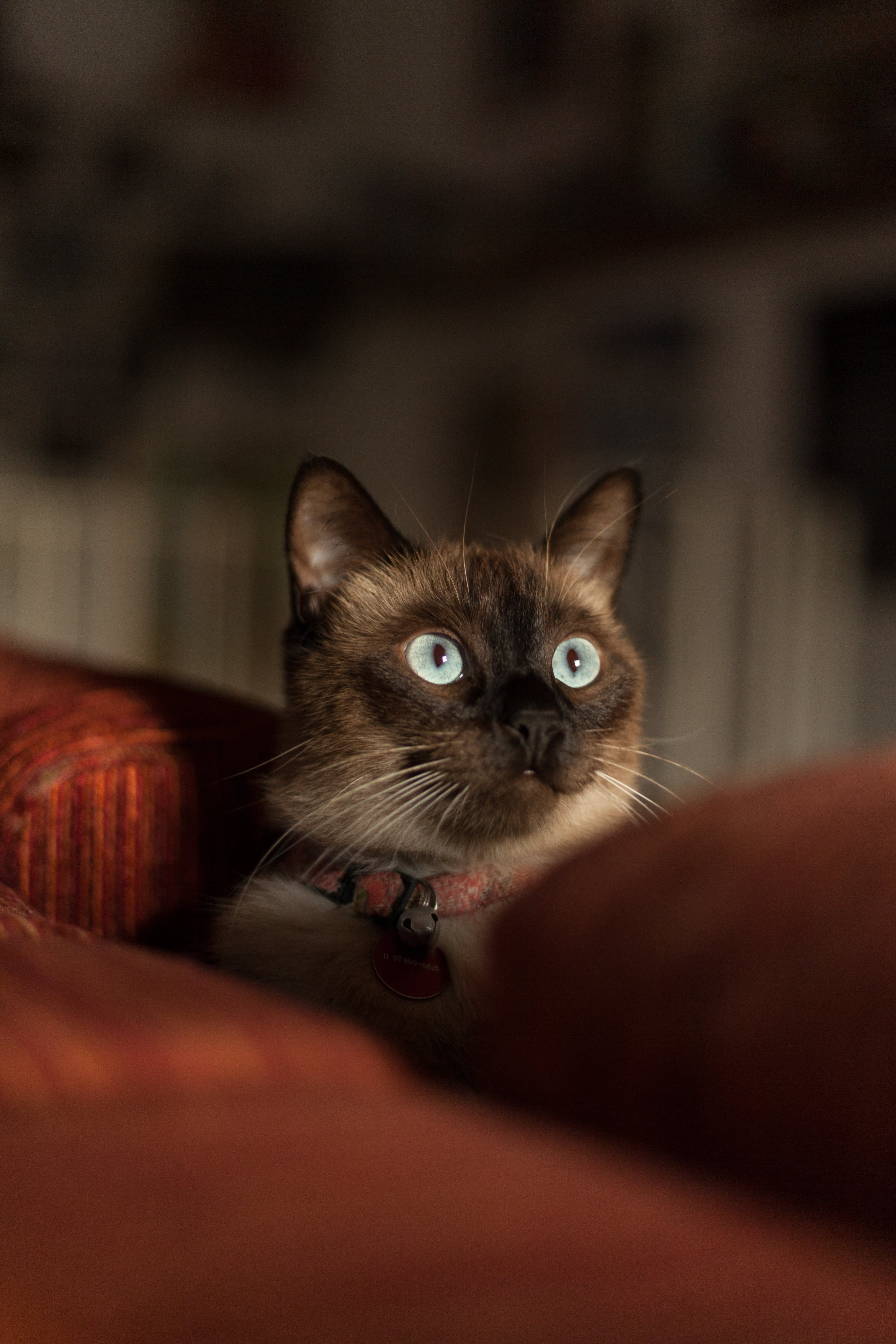 Siamese Cat With Red Collar