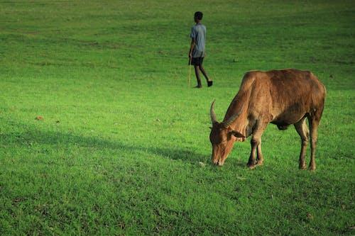 Безкоштовне стокове фото на тему «вічнозелений, зелень, корова, краєвид»
