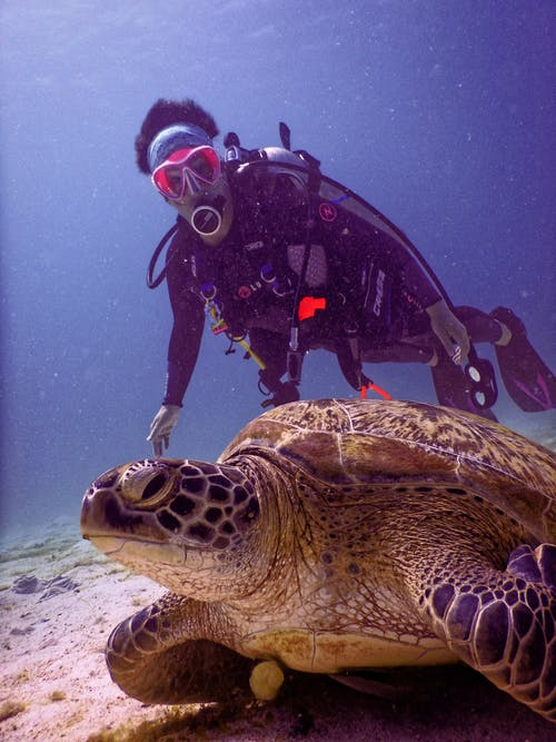 Scubadiver Near Brown Turtle