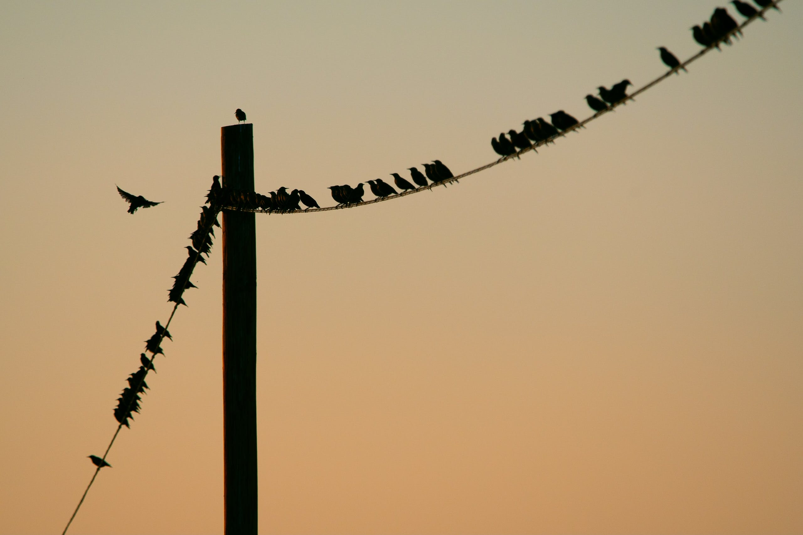Flock of Birds Perched on Post Cable