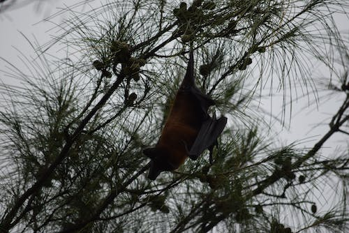 Free stock photo of #bats #flyingfoxes #mumbai