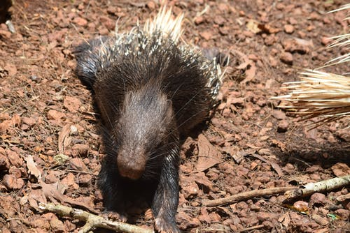 Free stock photo of #porcupine