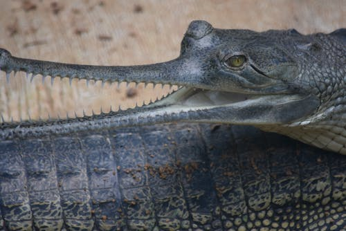Free stock photo of #gharial #southindia