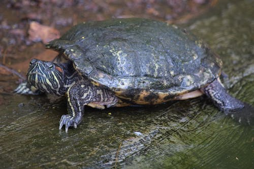 Free stock photo of #redearedslider #turtle, #terrapin