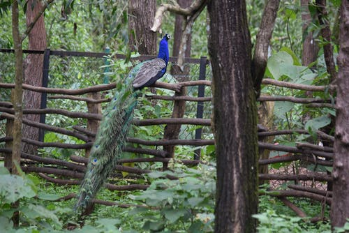 Free stock photo of #peacock #india