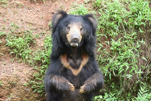 Free stock photo of #slothbear #predators #india