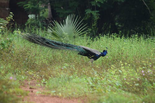 Free stock photo of #peacock #nationalbird #india