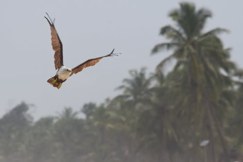 Free stock photo of #brahminykite #birds #southindia