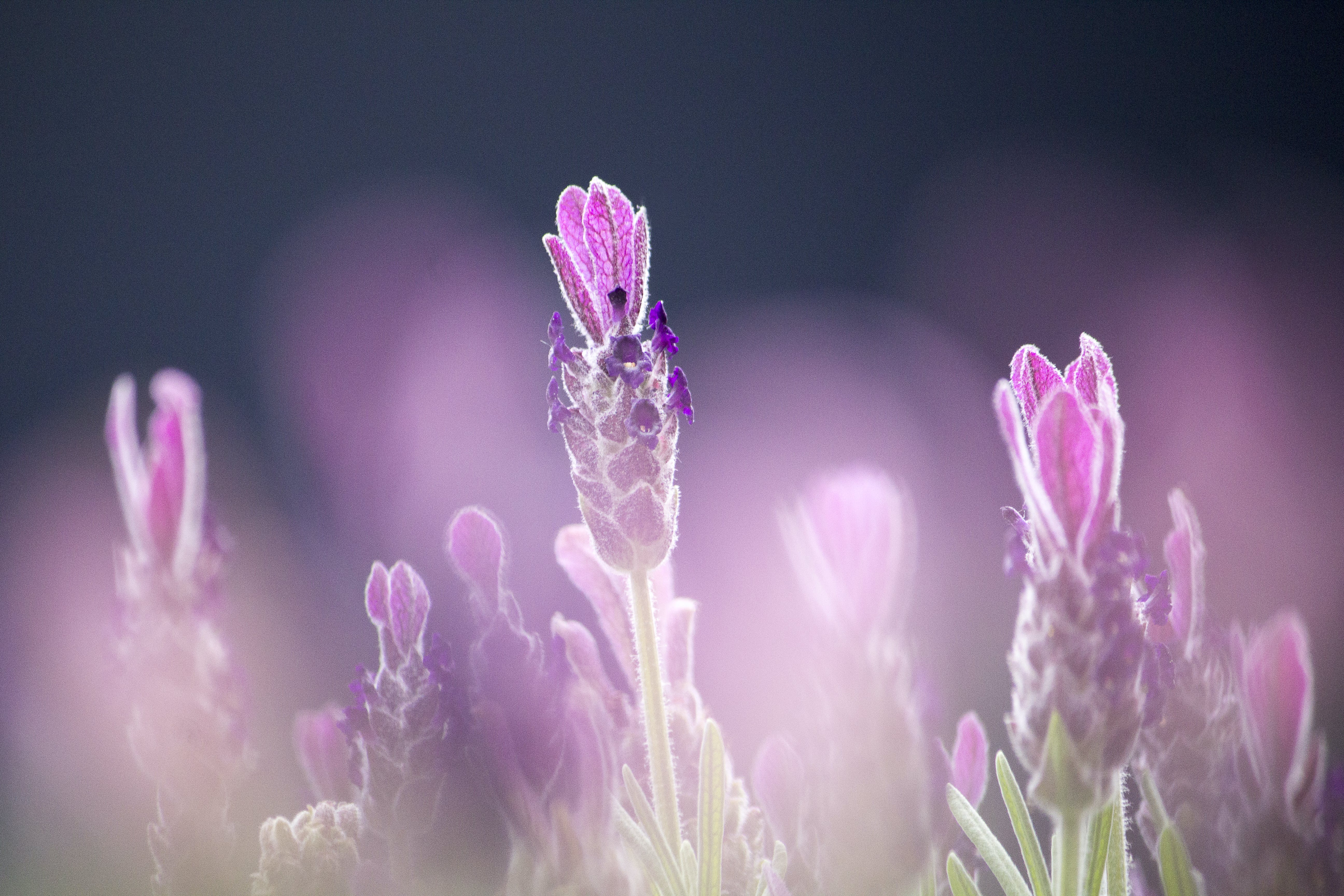 Purple French Lavenders Close-up Photography