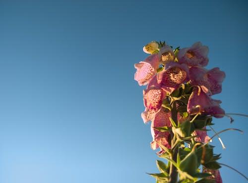 Kostenloses Stock Foto zu blume, glockenblume, himmel, minimal