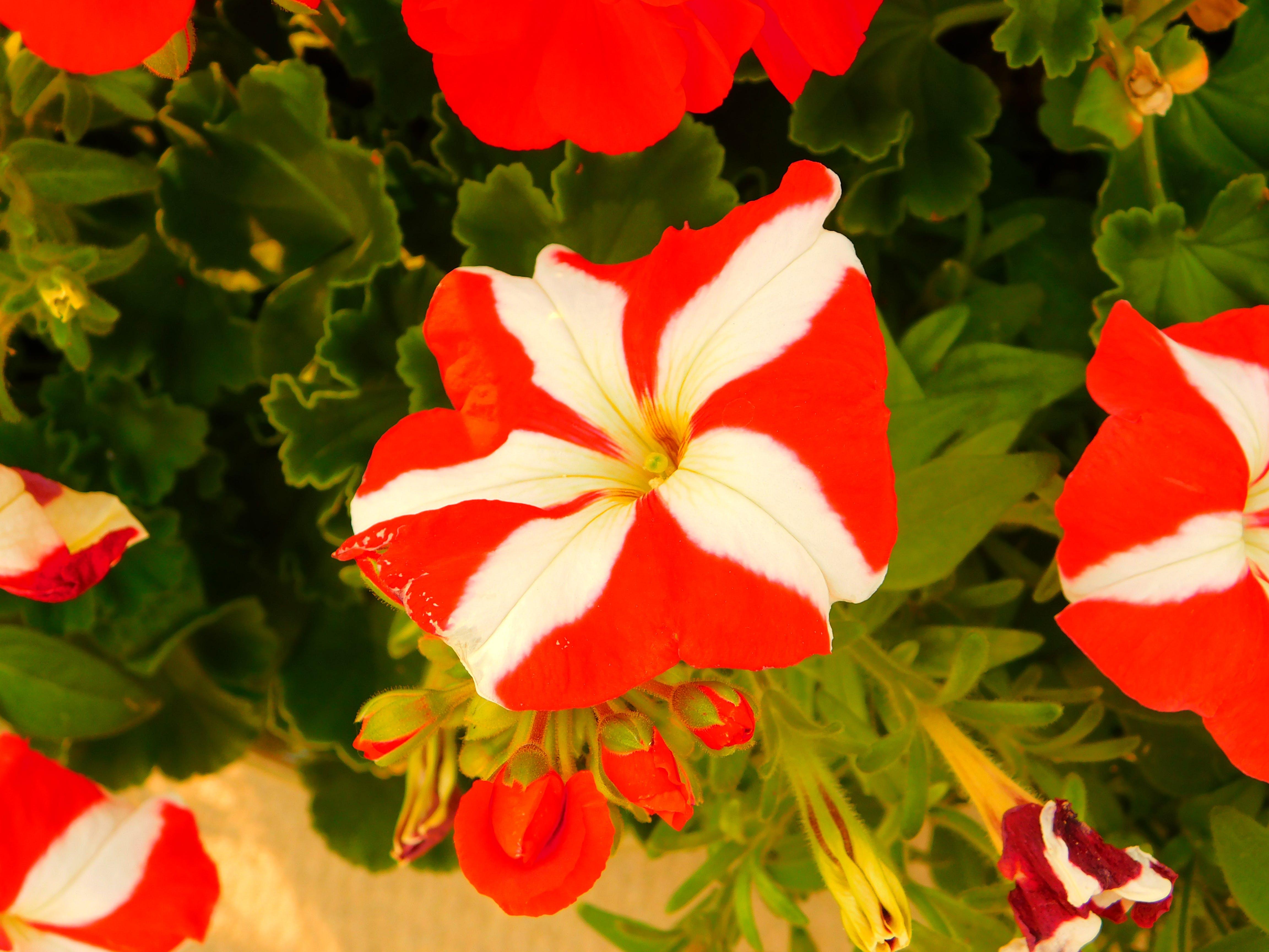 hvide striber på rød blomst