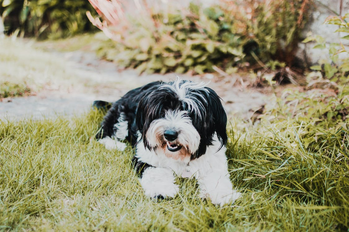 Adult Black and White Shih Tzu Laying on Green Grass