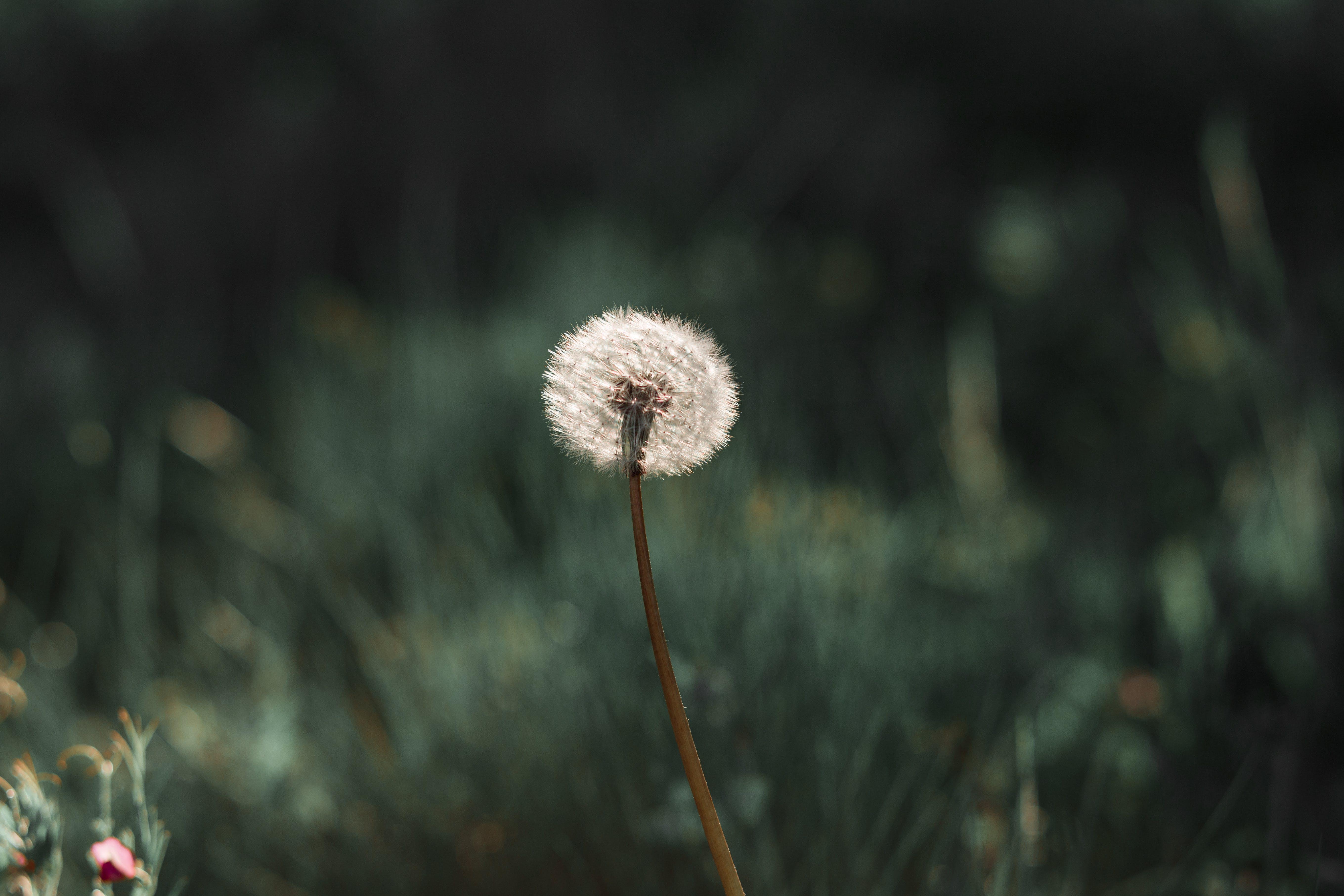 Photography Of Dandelion