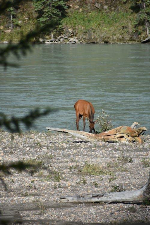 Gratis lagerfoto af dyrefotografering, dyreliv, elg, rådyr
