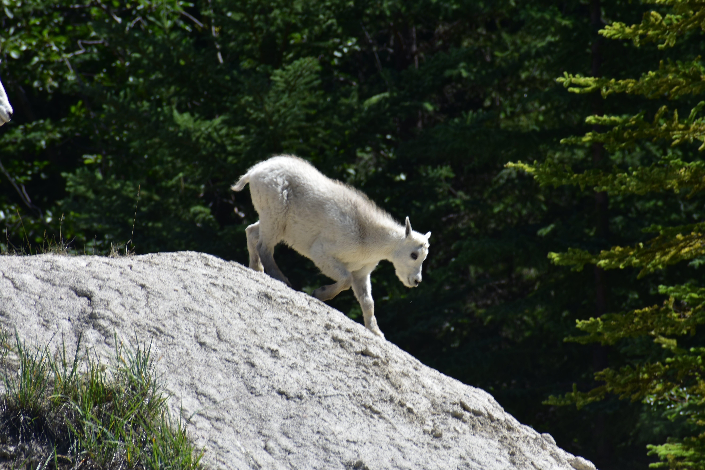 Free stock photo of animal, kid, mountain goat, trees