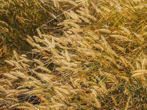 Imagine de stoc gratuită din câmp, cereale, creștere, culori