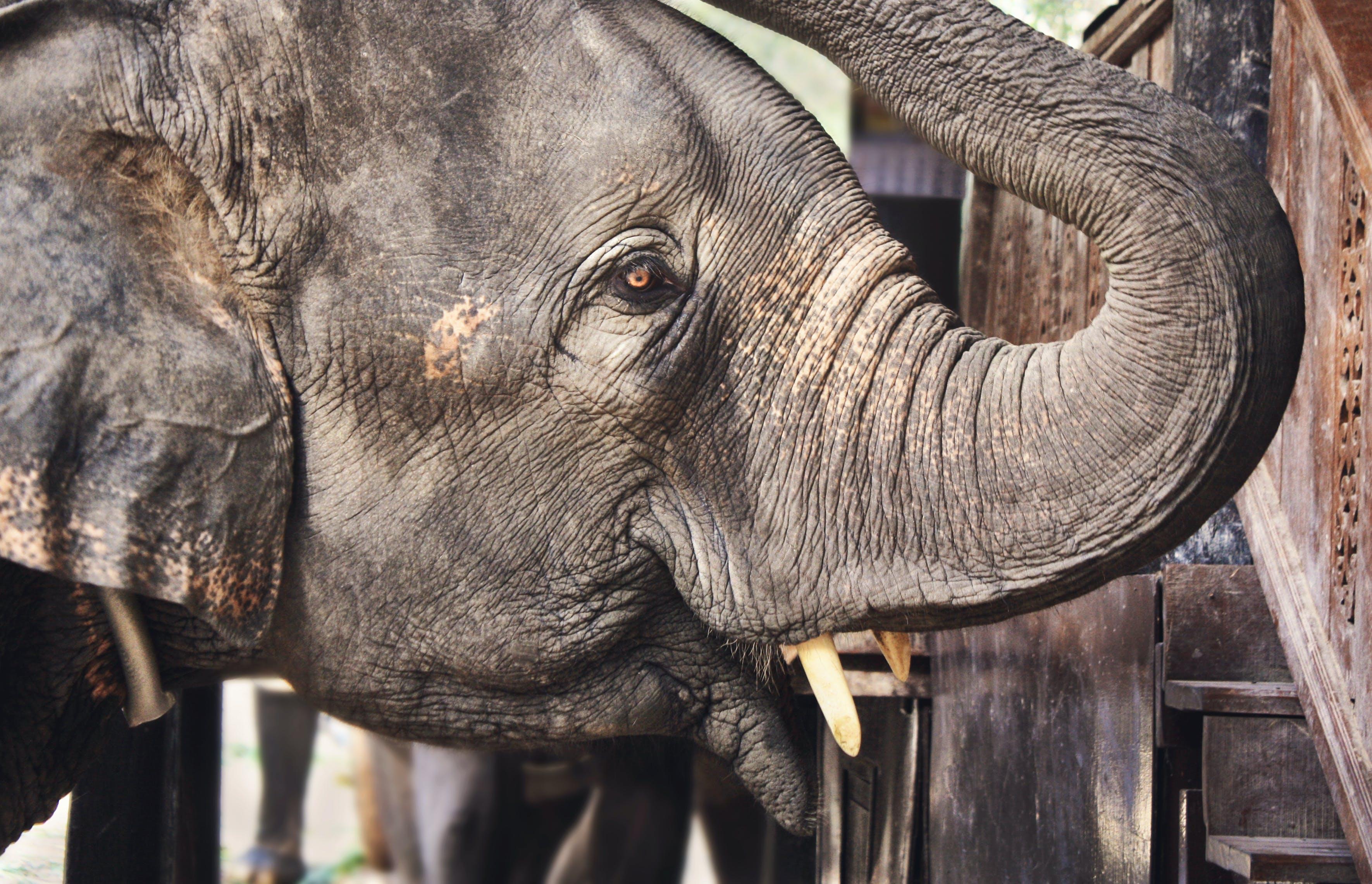 fil, fil dişleri, fil hortumu, fildişi içeren Ücretsiz stok fotoğraf
