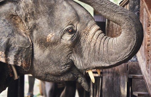 Fotobanka sbezplatnými fotkami na tému chobot slona, detailný záber, divočina, slon