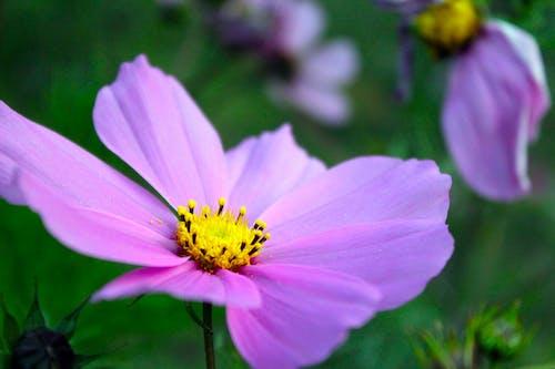 Δωρεάν στοκ φωτογραφιών με μοβ λουλούδι, φύση