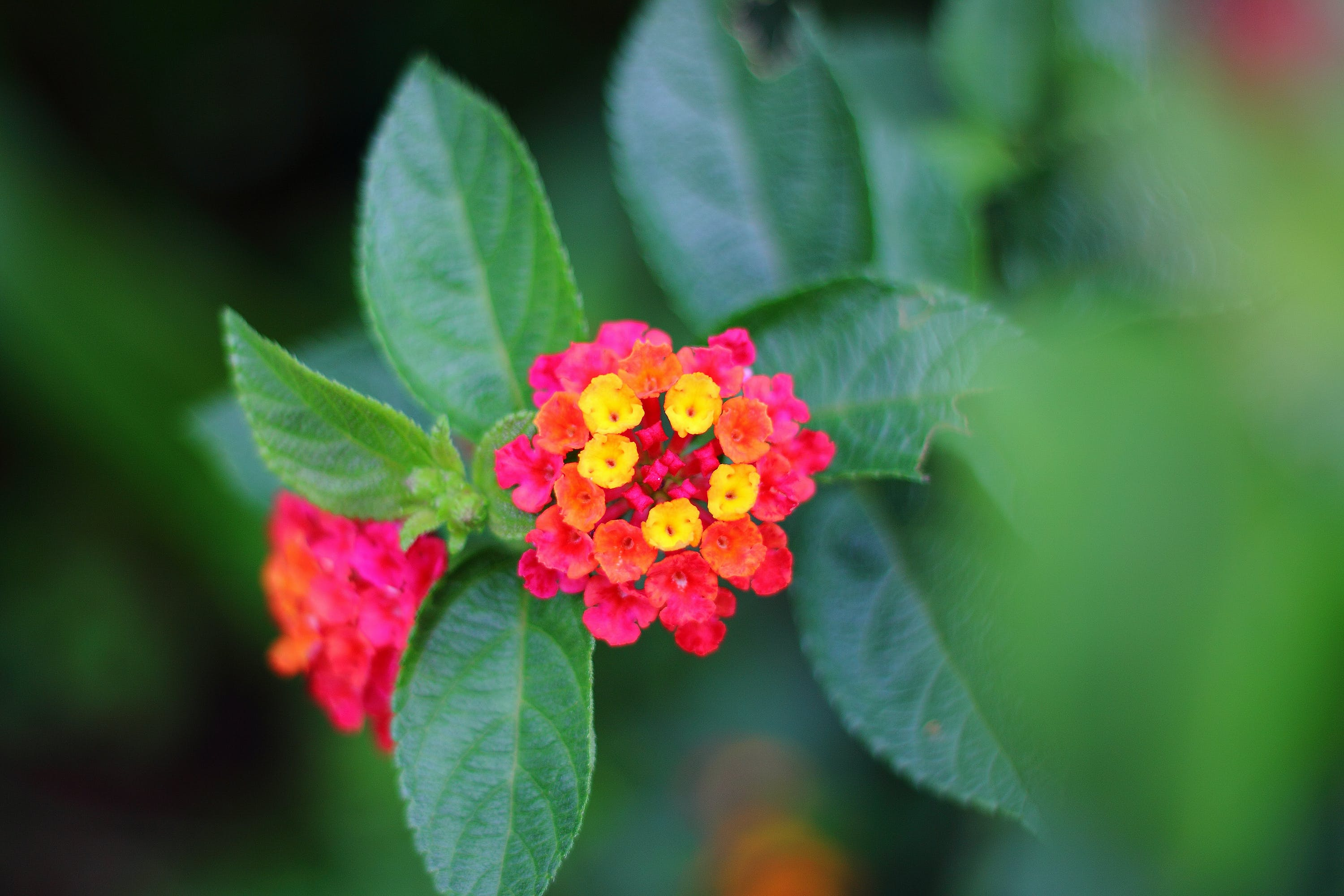 Selective Focus Photography of Red and Yellow Lantana Flower
