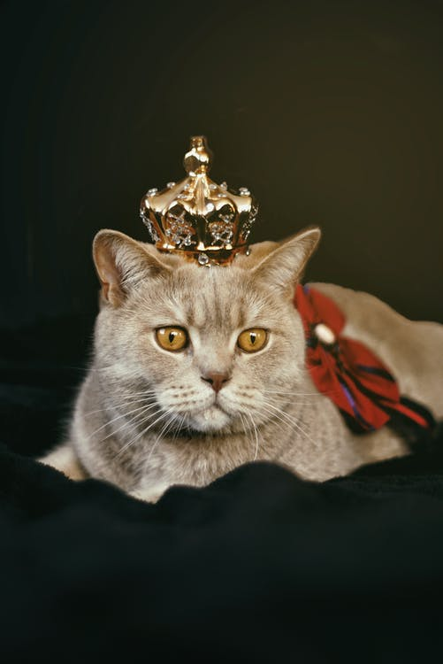 Beige Cat With Gold-colored Crown