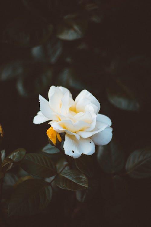 Бесплатное стоковое фото с ботанический, лепестки, природа, размытый фон