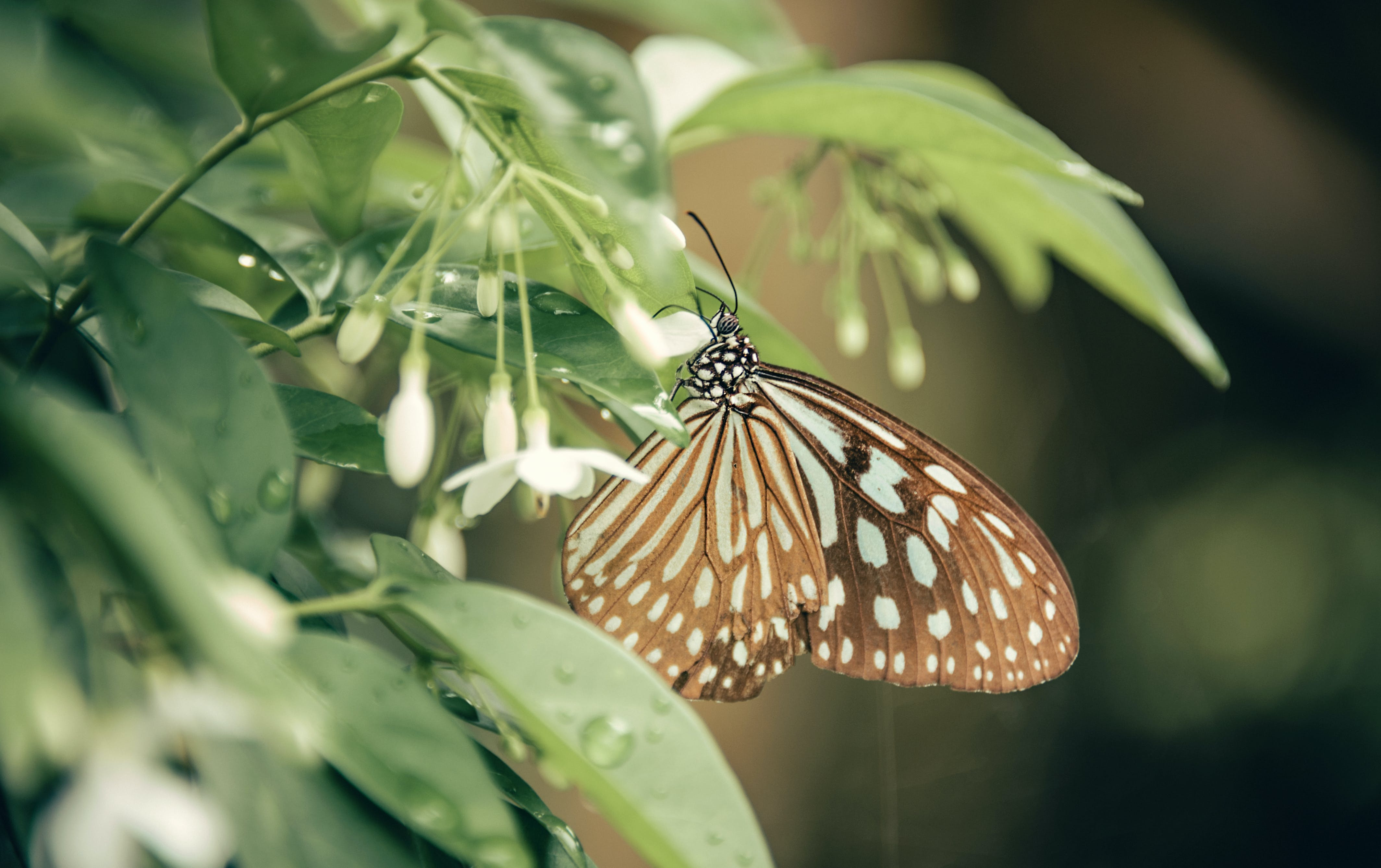Brown And White Butterfly Perched On White Petaled Flower