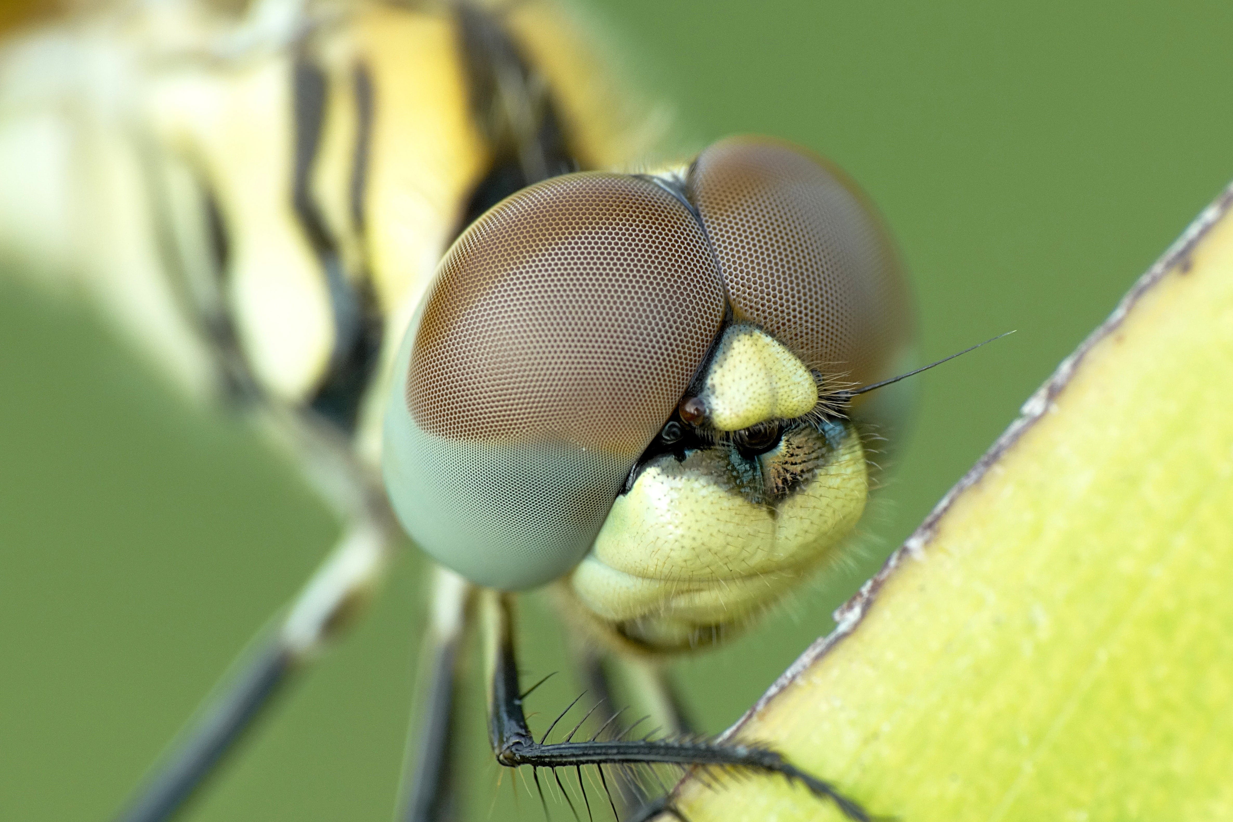 Yellow and Black Dragonfly