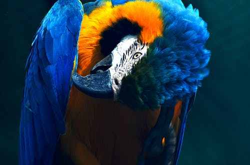 Blue And Yellow Macaw Parrot