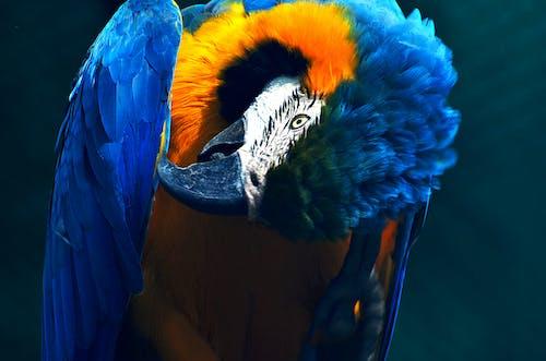Foto profissional grátis de animais selvagens, animal, arara, ave