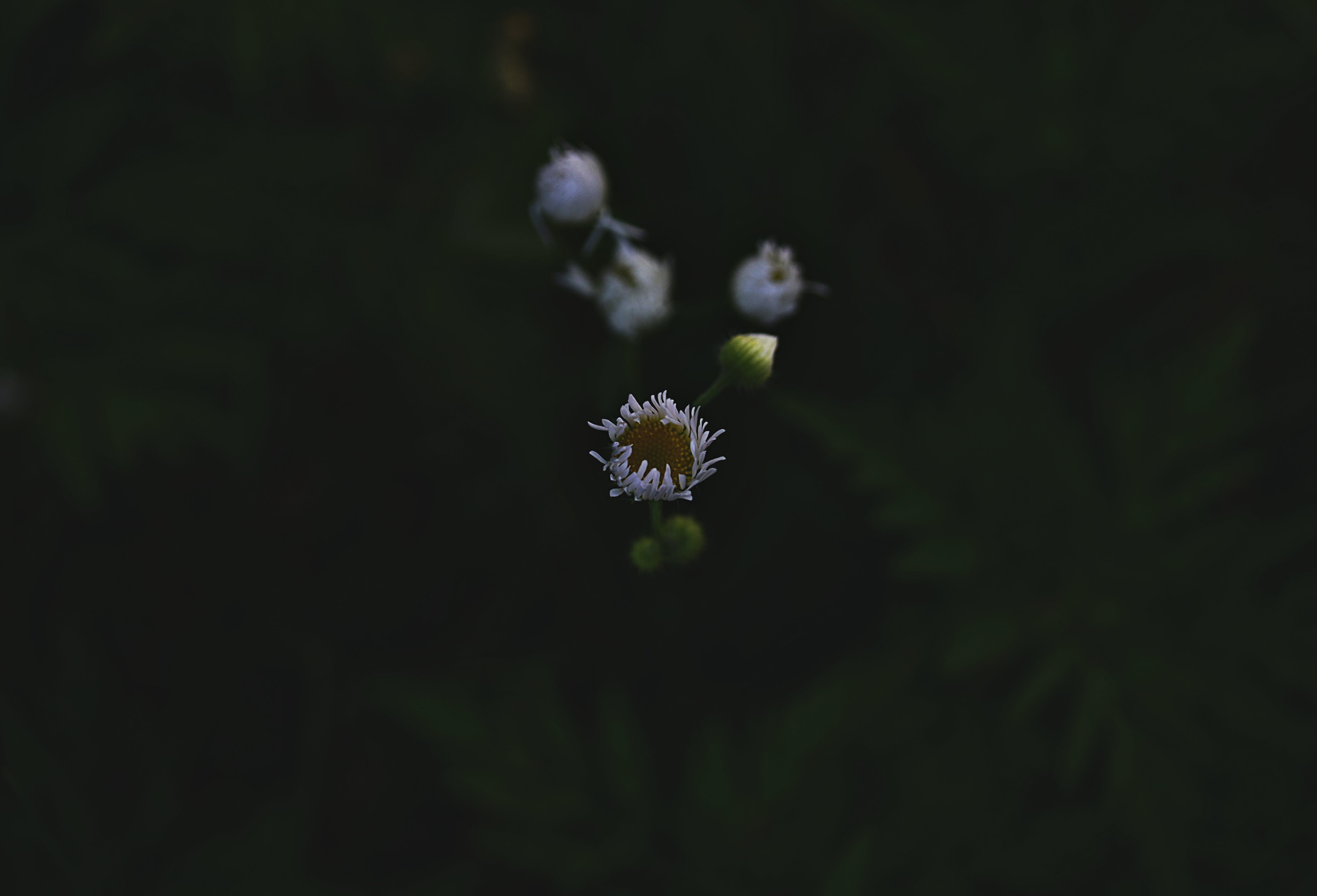 Kostenloses Stock Foto zu blumen, blütenknospen, dunkel, farben