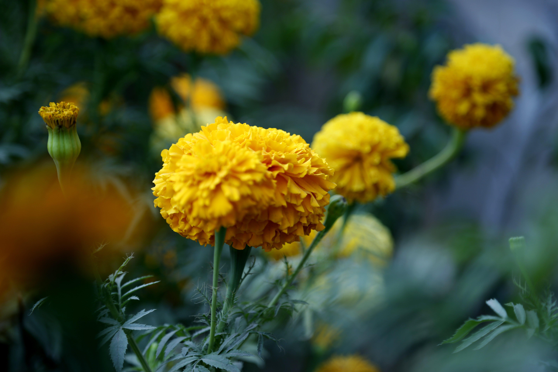 Closeup Photo of Yellow Marigold Flowers