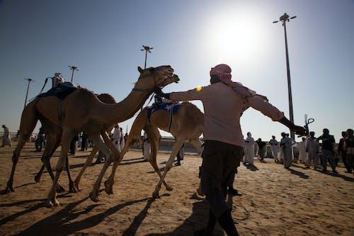 Бесплатное стоковое фото с Аравийский верблюд, верблюд, гонка на верблюдах